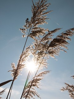 Sunshine-through-Tall-Reeds-__74405
