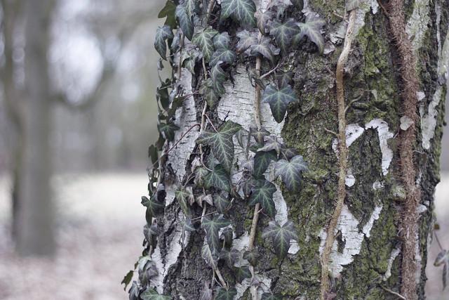 hejregina träd1