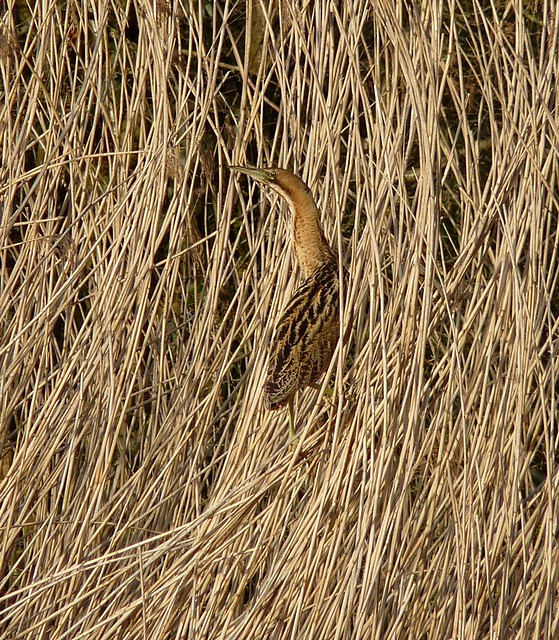 25733 - Bittern, Forest Farm