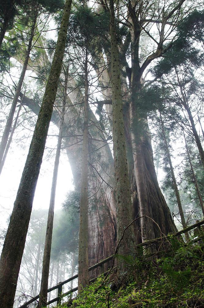 觀霧巨木步道-051