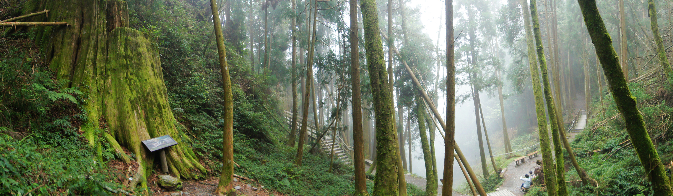觀霧巨木步道-076