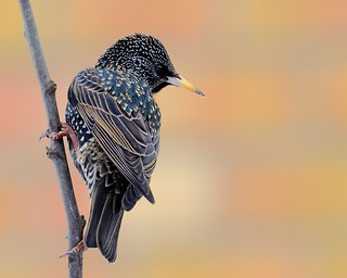 Starling by the wall