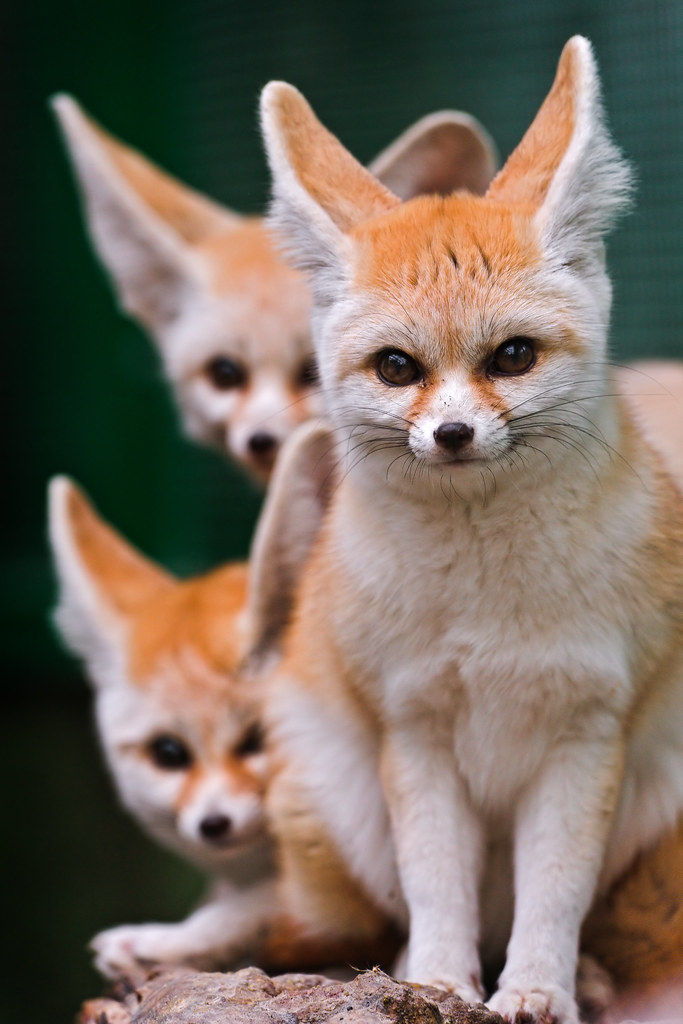 Three cute fennecs!