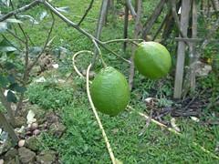 20120204-檸檬-1