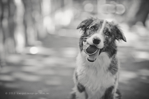 Artex and his tennis ball, twoguineapigs pet photography, border collie, dog portraiture. A story about Artex.