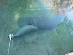 marine mammal, fish, manatee, marine biology,