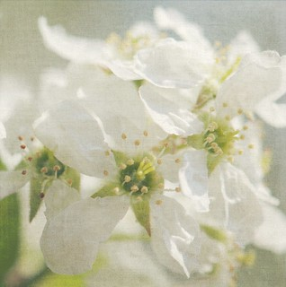 Apple Serviceberry Blossoms Textured
