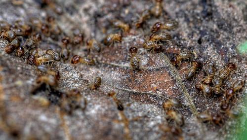 termiti che mangiano il legno