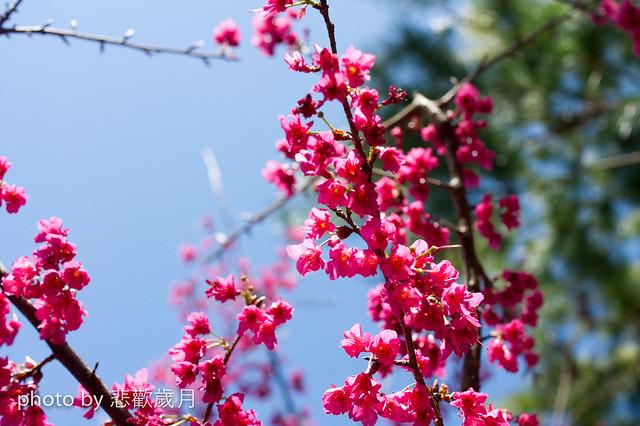 烏松崙追櫻花-13
