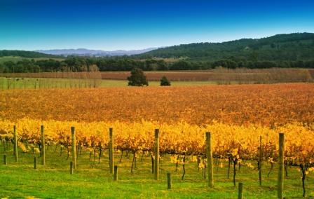 Vineyard in autumn Yarra Valley Australia (2)