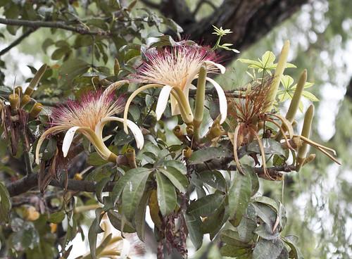Pachira aquatica Aubl. - Flor, botones y hojas