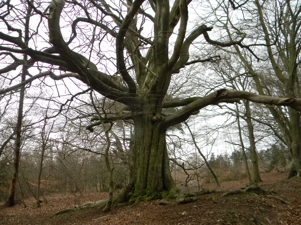 Congratulatory tree (for having done the steep climb) Holmwood to Gomshall