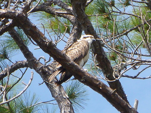 Phriday Photo – Osprey in Florida