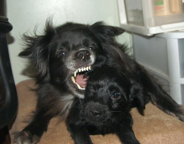 Pepper playing with huge Yorkiepoo puppy