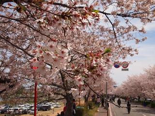 兵庫県姫路市 さくら祭り20120415
