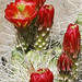 Small photo of Claret Cactus