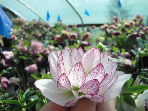 Helleborus 'Peppermint Ice' in stock house close up