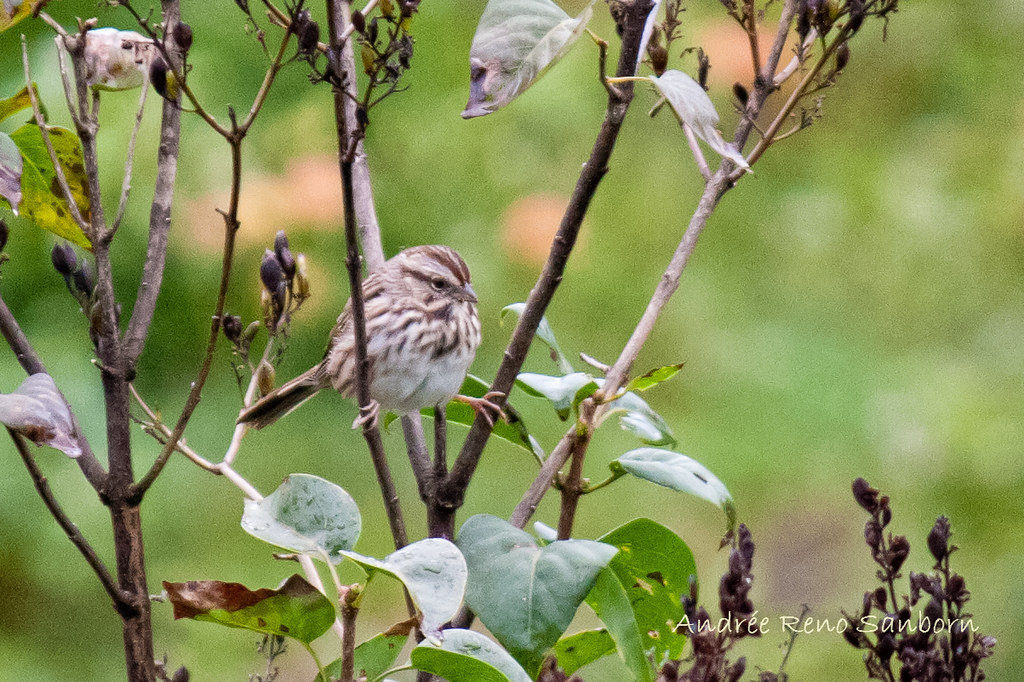 Silly Song Sparrow-1.jpg