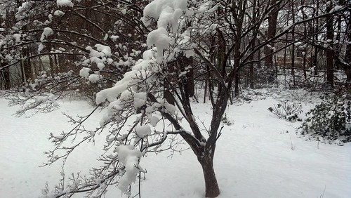 Dogwood with snow