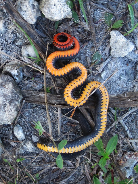 Ring-necked Snake (Diadophis punctatus)  playing dead 20120303 20120303