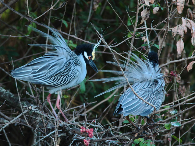 Yellow-crowned Night Heron pair displaying 5-20120304