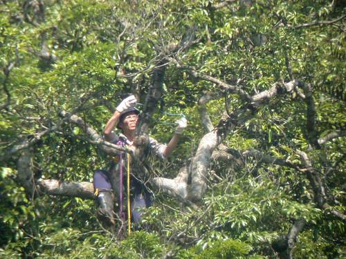 調查團隊成員陳一銘爬上林鵰巢樹架設監視系統。(攝影:王峻)
