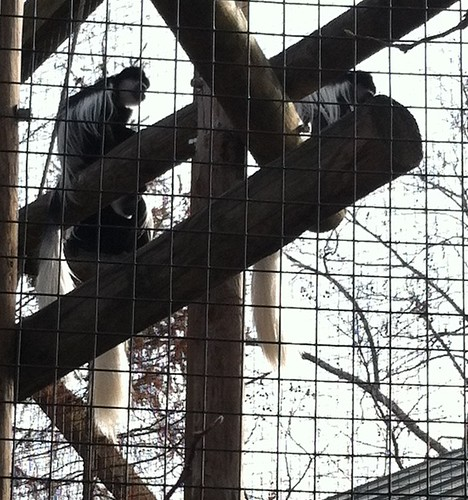 Colobus Monkey at the Toledo Zoo