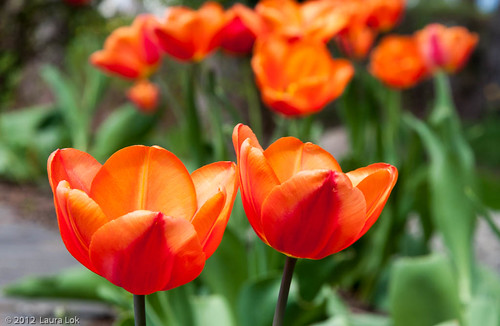 orange tulips at arbor crest-5