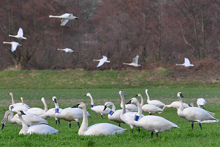 2012-03-15 Tundra Swans & Trumpeter Swans (06) (1024x680)