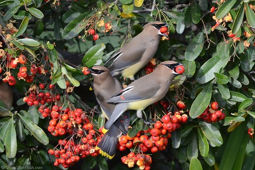 Three Cedar Waxwings with Berries