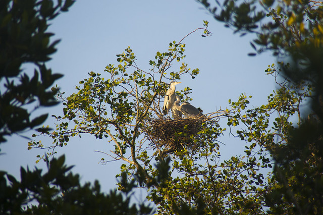Herons nesting at Pasir Ris mangroves