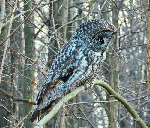 Ontario: My First View of My Great Gray Owl