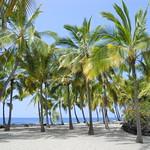 Cocos nucifera grove