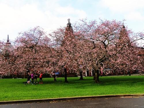Cherry Blossom, Kelvingrove