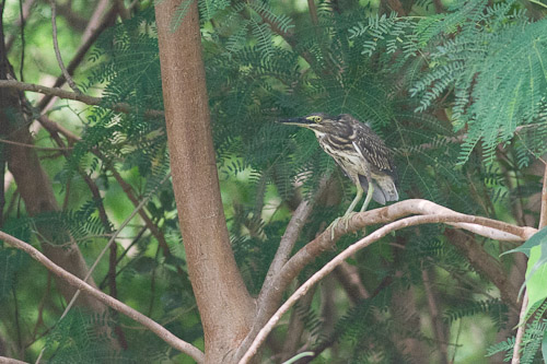 Little Heron - juvenile