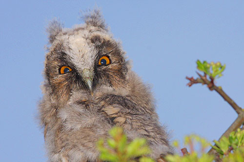 Wild long eared Owl chick by Paul Miguel