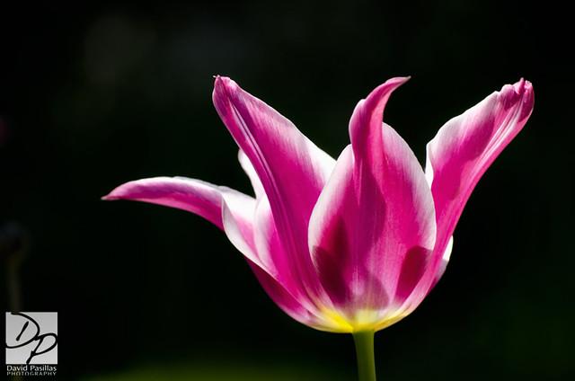 Basking Tulip
