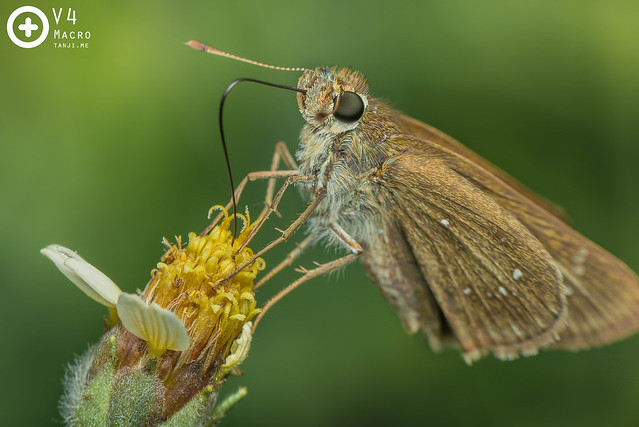 Brown Skipper (?) - Pelopidas sp.