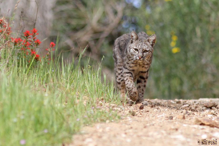 Bobcat-041014-3