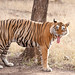 T28 - From the Cat Family - Grown-up male Tiger from Ranthambore National Park