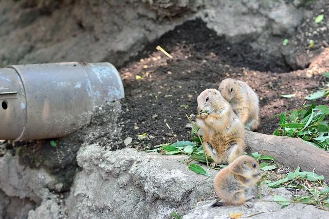 上野動物園_プレーリードッグ