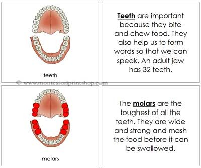Teeth/Jaw Nomenclature Book (Image from Montessori Print Shop)
