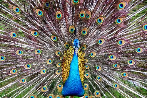 [フリー画像素材] 動物 2, 鳥類, 孔雀・クジャク ID:201202280600