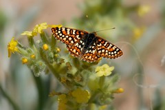 edith's checkerspot Colorado butterfly photography by Ron Birrell; Butterfly 0116