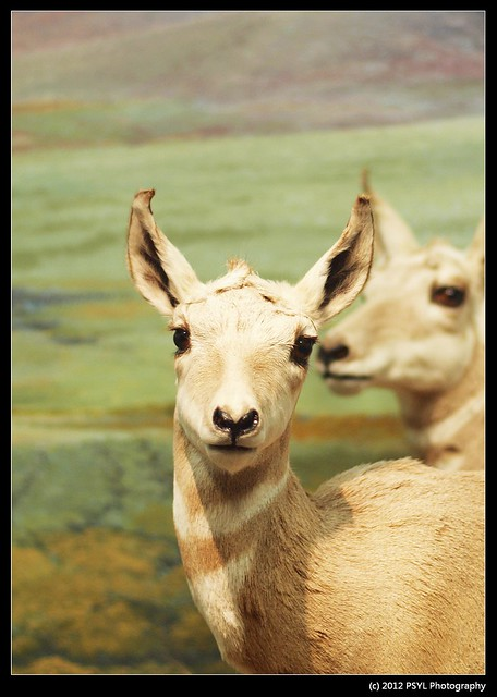 Stuffed Pronghorn (Antilocapra americana)
