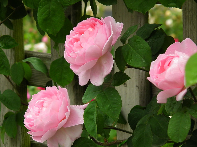 rose constance spry flickr photo sharing. Black Bedroom Furniture Sets. Home Design Ideas