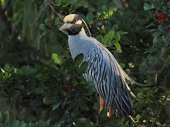 Yellow-crowned Night-Heron Rookery