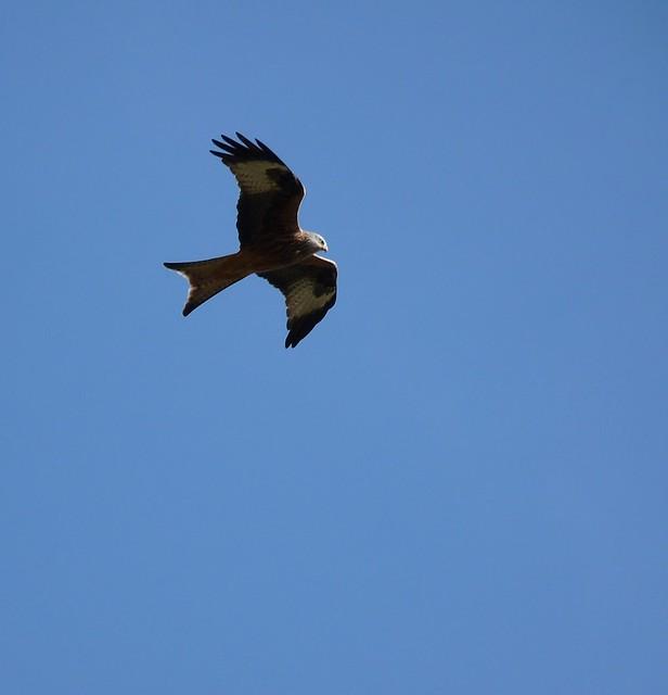 25607 - Red Kite, Carreg Cennen