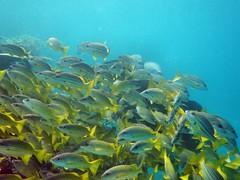 coral reef, fish, coral reef fish, marine biology, underwater, reef,