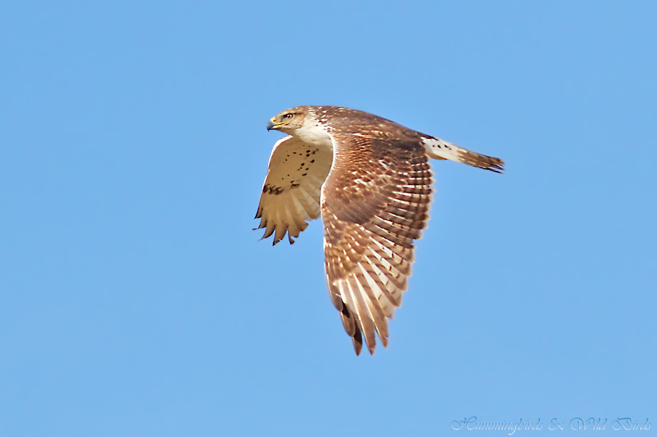 Ferruginous-Hawk-111211-2